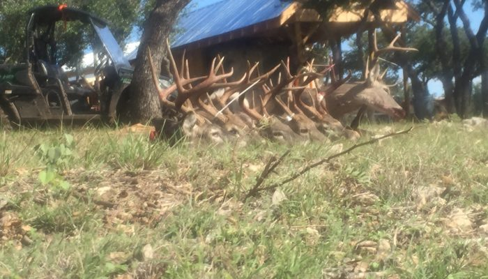 Photo of several deer harvested on Prone Outfitters Texas Deer Hunt