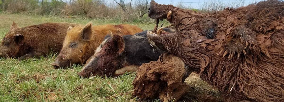Texas Hog Hunting: 100% FREE RANGE - Prone Outfitters